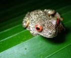Hylidae - Ptychohyla (Hyla) legleri - Legler's Streem Frog - 07.10.2016 - 18.55.01