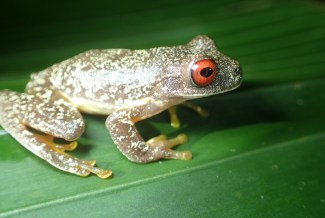 Hylidae - Ptychohyla (Hyla) legleri - Legler's Streem Frog - 07.10.2016 - 18.56.46