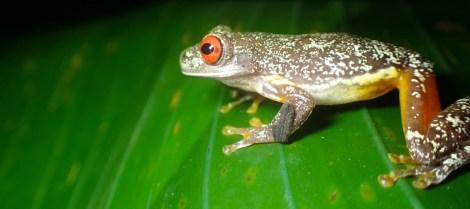 Hylidae - Ptychohyla (Hyla) legleri - Legler's Streem Frog - 07.10.2016 - 18.58.29