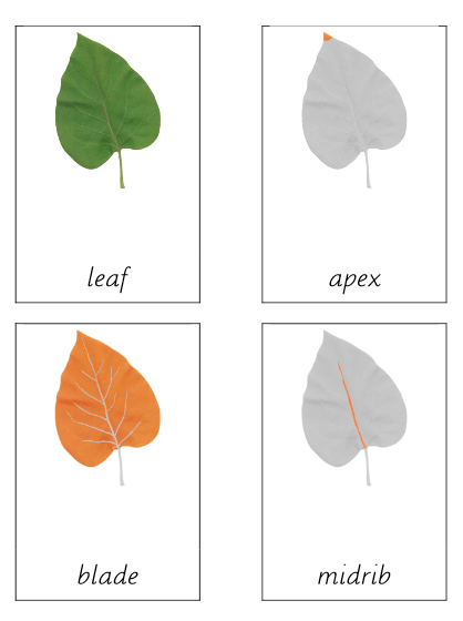Leaf (Parts of)
