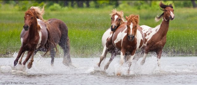 assateague_horses_IMG_8848