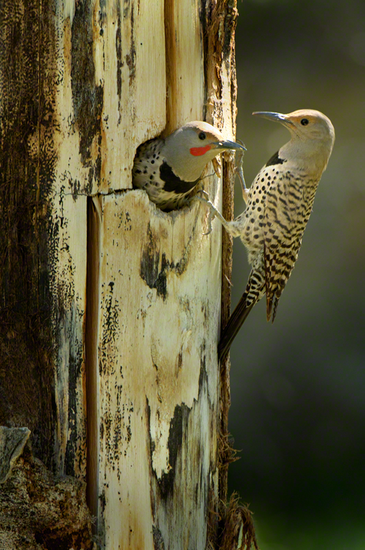 Red-shafted Flicker 0305
