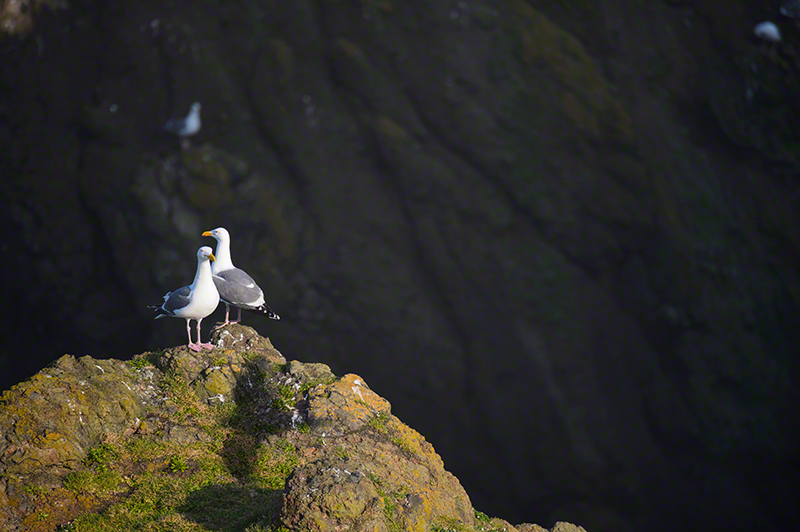 Western Gull 0406