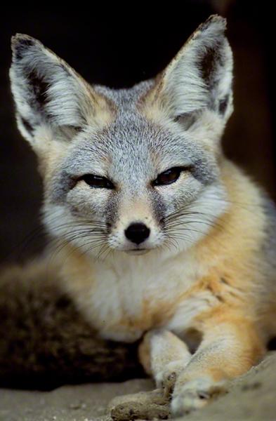 San Joaquin Kit Fox 0094