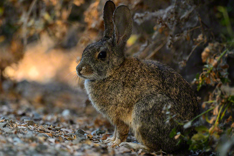 Riparian Brush Rabbit 0593