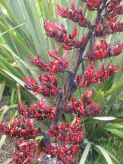 Small Of New Zealand Flax