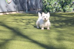 Small Of White Dog Breeds