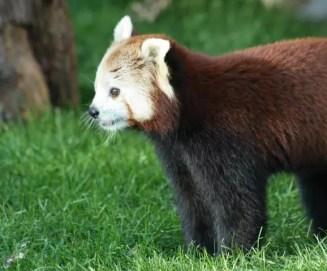 55_Zoo_RoterPanda