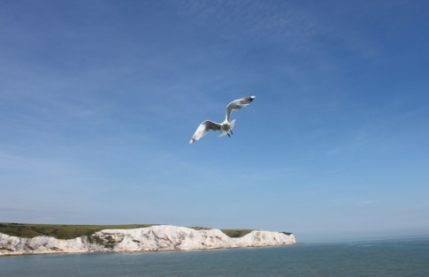 The white cliffs of Dover and a Seagull