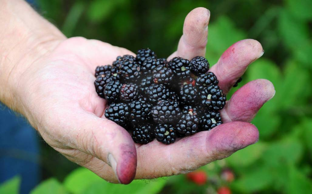 Vine Ripened Blackberries… Oh Yeah!