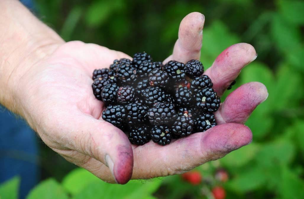 Vine Ripened Blackberries… Oh Yeah!