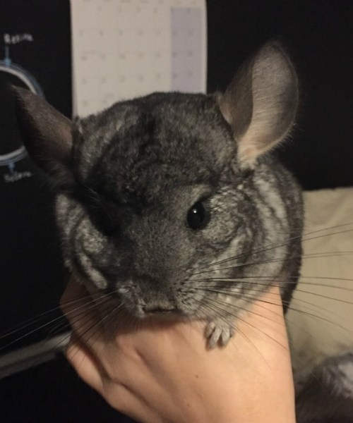 So you are getting a chinchilla