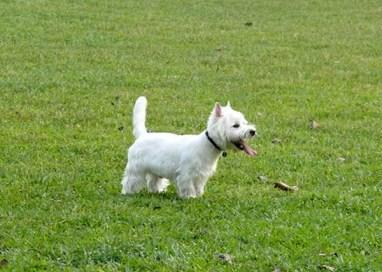 Terrier blanco de West Highland no da alergia