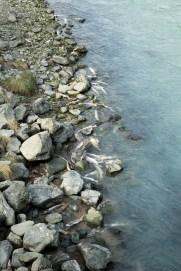 Dezenas de salmões mortos na beira do rio