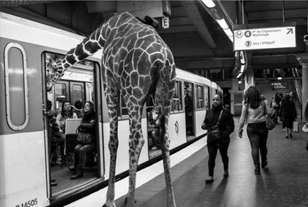 giraff on subway thomas subtil