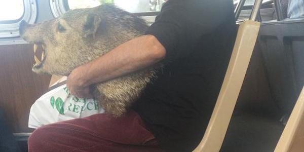 Boar 'heads' home on Muni