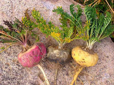 maca-root-colors