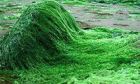 spirulina-growing