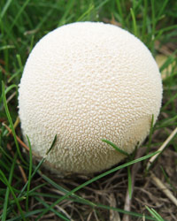 Meadow Puffball