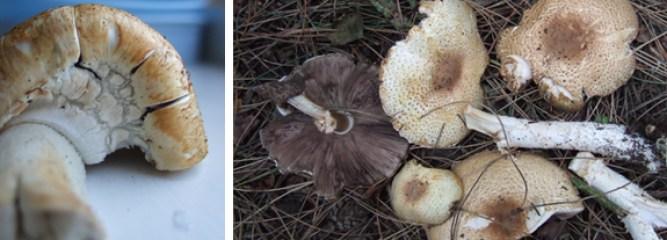 The Prince - Edible Woodland Mushroom