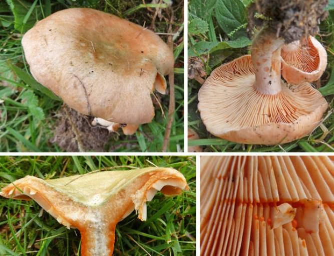 Lactarius deliciosus - edible milkcap