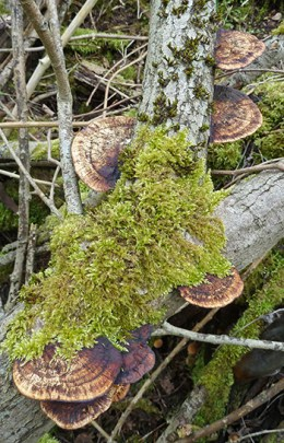 Daedaleopsis confragosa