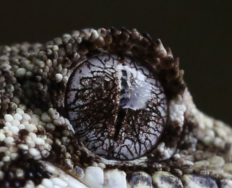 Gecko_eye