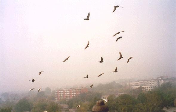 Beijing pigeons