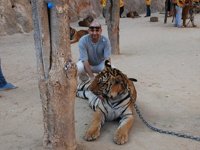The unmissable selfie with a tiger - photo courtesy of xiquinhosilva (flickr)