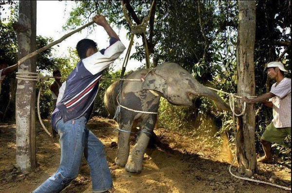 This is what's behind the use of elephants to carry tourists or to employ them in shows - photo courtesy of Alternative Way