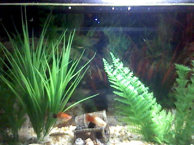 Tank Mates For Angle Fish And What Size Tank Do I Need   My Aquarium