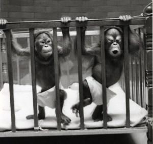 Orangutans-Towan-Chinta_horiz