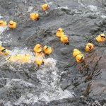 Rubber ducks race down the Naugatuck River in Beacon Falls during last year's Beacon Falls River Fest and Duck Race. –FILE PHOTO