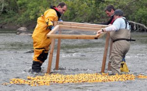 Beacon Falls Lions Club members, John Weid, left, Michael Krenesky, right front, and Chris Jurzynski release rubber ducks in the Naugatuck River to start last year's Duck Race. –FILE PHOTO