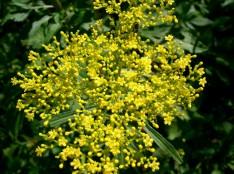 おみなえし-Patrinia_scabiosifolia1-1