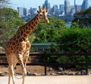 giraffe-sydney-taronga-zoo