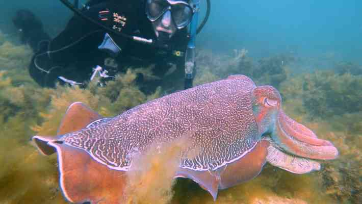 Tips to See Thousands of Giant Cuttlefish in South Australia (Whyalla)