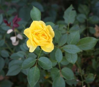 mini rose yellow