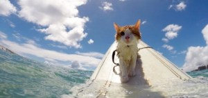 surfing cat breaks stereotype