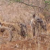 Hyäne babys