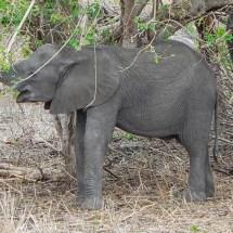 elefant baby close