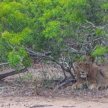 lion close 1