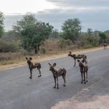wild dog gang