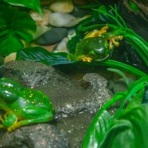 Blackbutt Reserve frogs