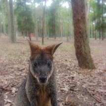 Blackbutt Reserve kangeroo face2face