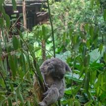 Blackbutt Reserve koala