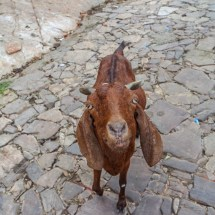 Jaipur-goat