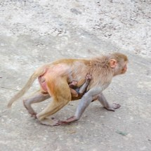 Jaipur-monkey mom