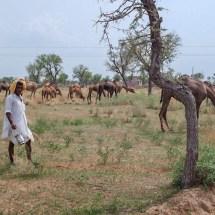 Jodhpur-vishnois village camels