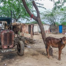 Jodhpur-vishnois village cow